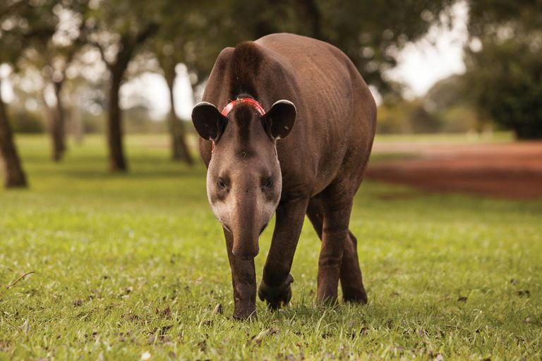 Especies como el tapir han vuelto a habitar zonas donde habían estado ausentes por varias décadas.