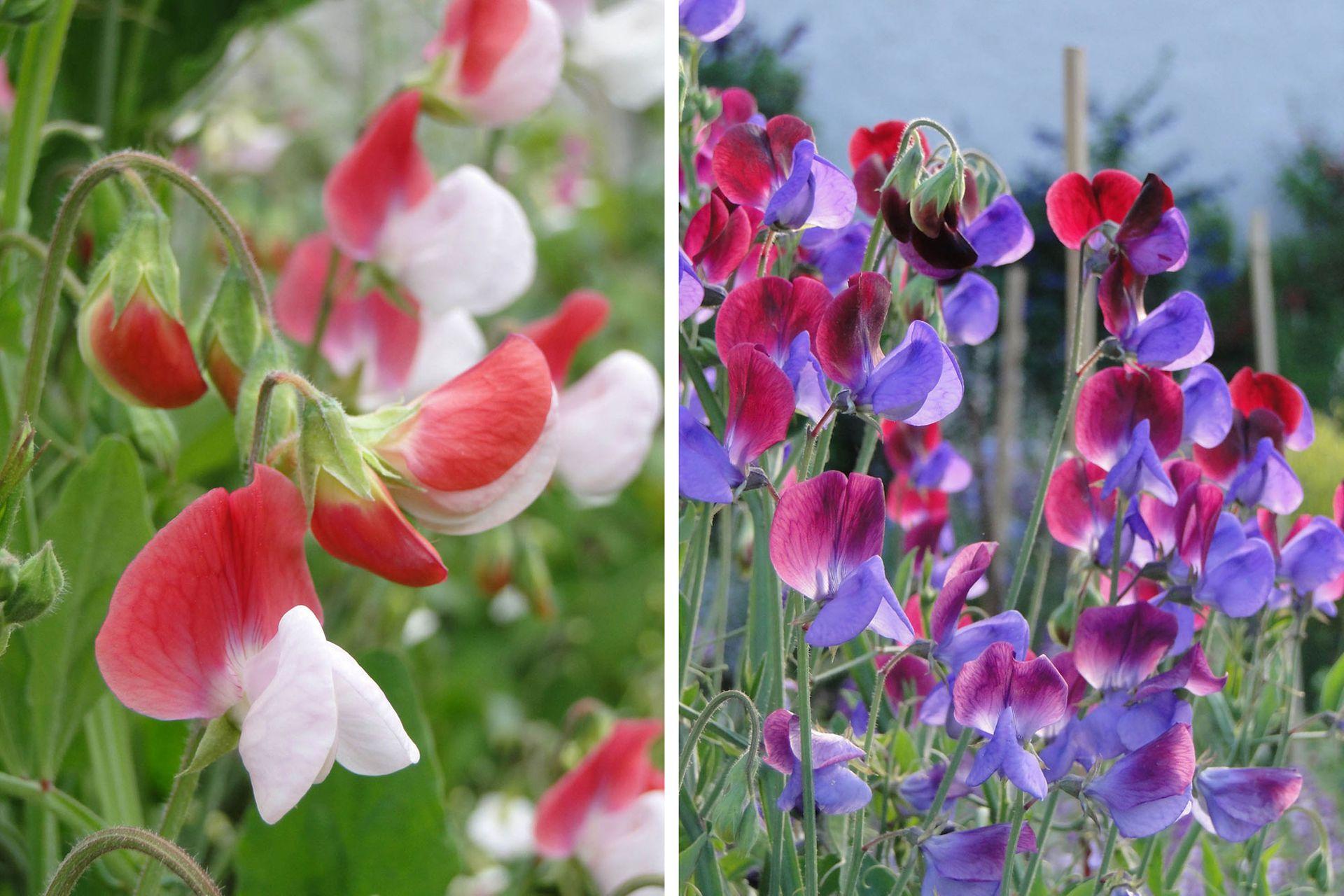 Arvejillas en distintos tonos. A la izquierda: flores bicolores de Lathyrus odoratus 'Painted Lady' (Grandiflora). A la derecha: Lathyrus odoratus 'Cupani' (Grandiflora).