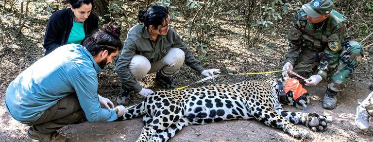 Rewilding: las especies que se salvaron de la extinción en la Argentina