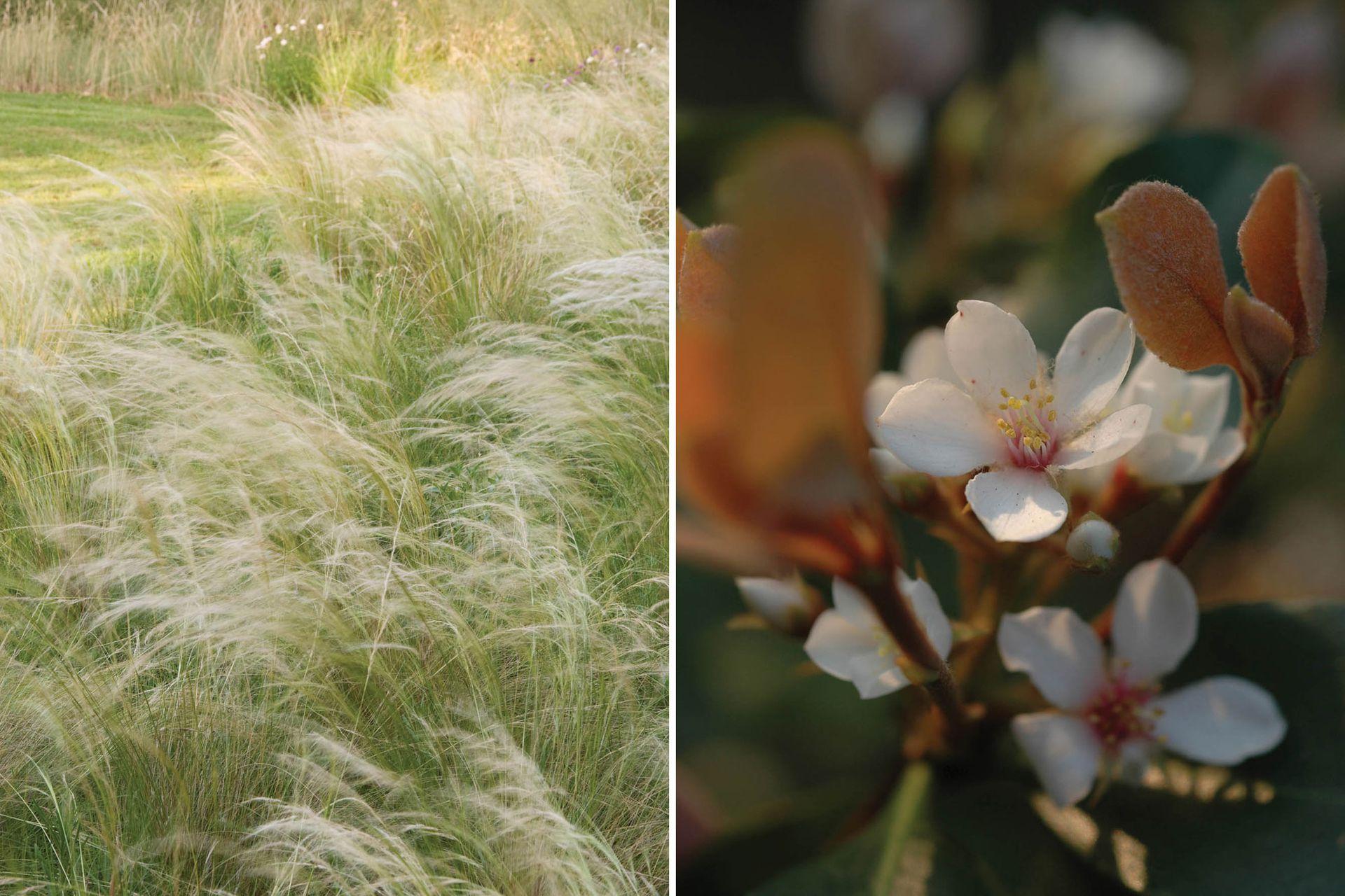 Izquierda: Nassella tenuissima; sus inflorescencias leves siguen el vaivén del viento y dan dinamismo a los diseños. Derecha: Rafolepis, un arbusto, también de follaje perenne, compacto, que produce en primavera flores blancas y fragantes.