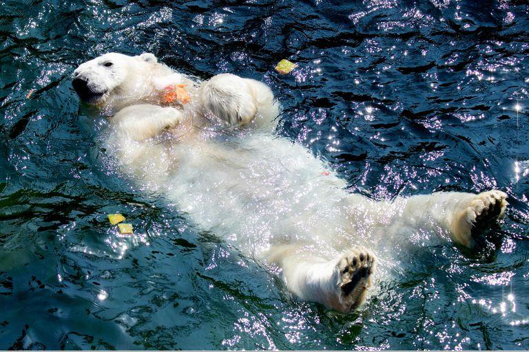 """El oso polar """"Milana"""" se refresca en su pileta en el zoológico de Hannover, en el norte de Alemania, donde las temperaturas alcanzaron hoy los 33 grados centígrados"""