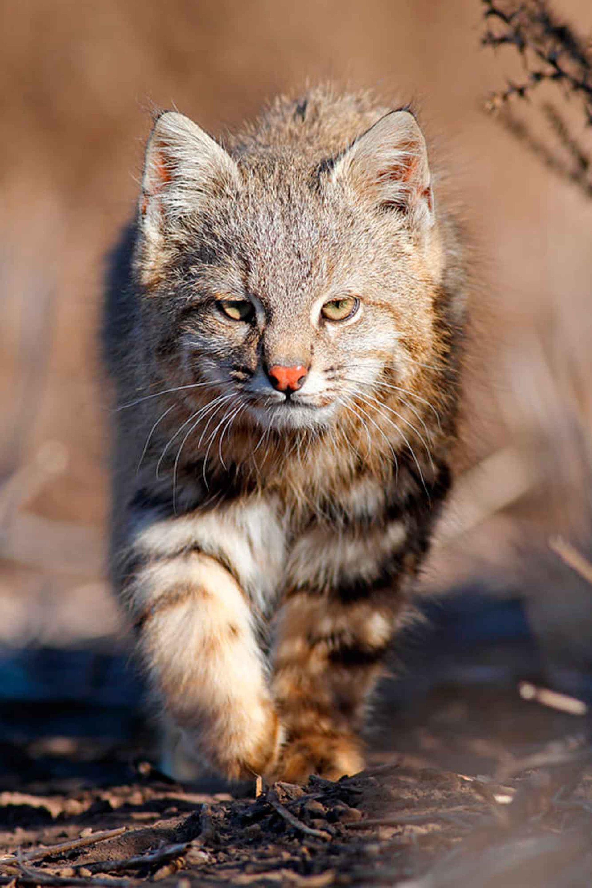 El Gato de Pajonal es un felino protegido por varios Parques Nacionales de Argentina.
