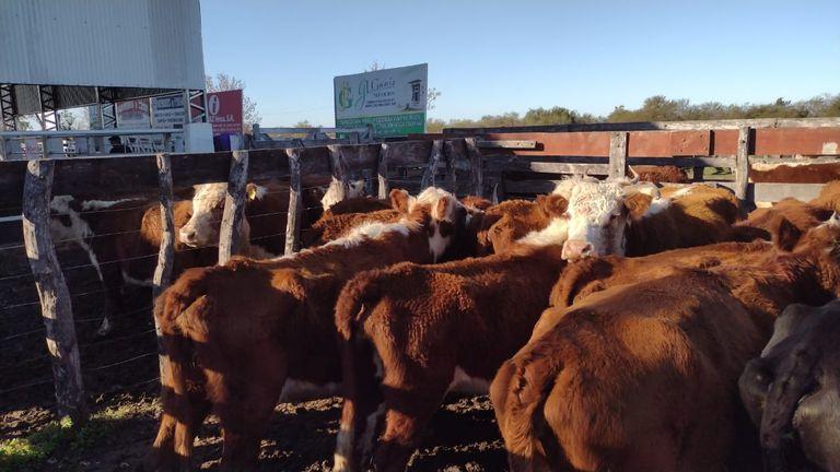 En los remates feria del interior del país, los lotes de vaca manufactura carecen de interesados y regresan al campo sin venderse. Foto gentileza Nicasio Tito