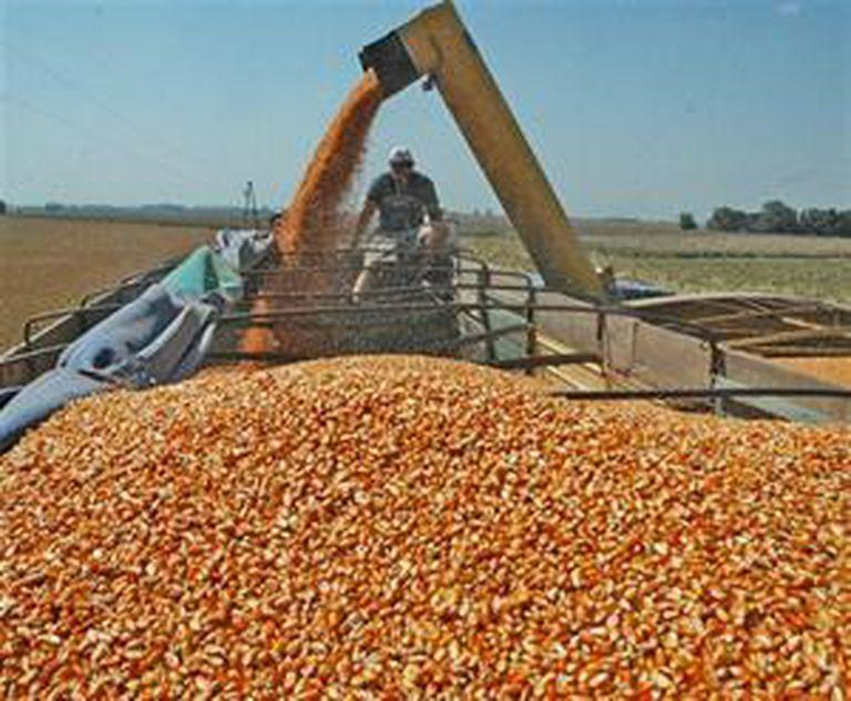 En la zona de Rosario también se concentra el recibo del cereal