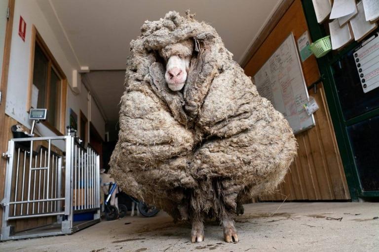 El animal fue encontrado en estado salvaje y casi ciego en un bosque australiano y una organización de rescatistas la esquiló luego de muchos años