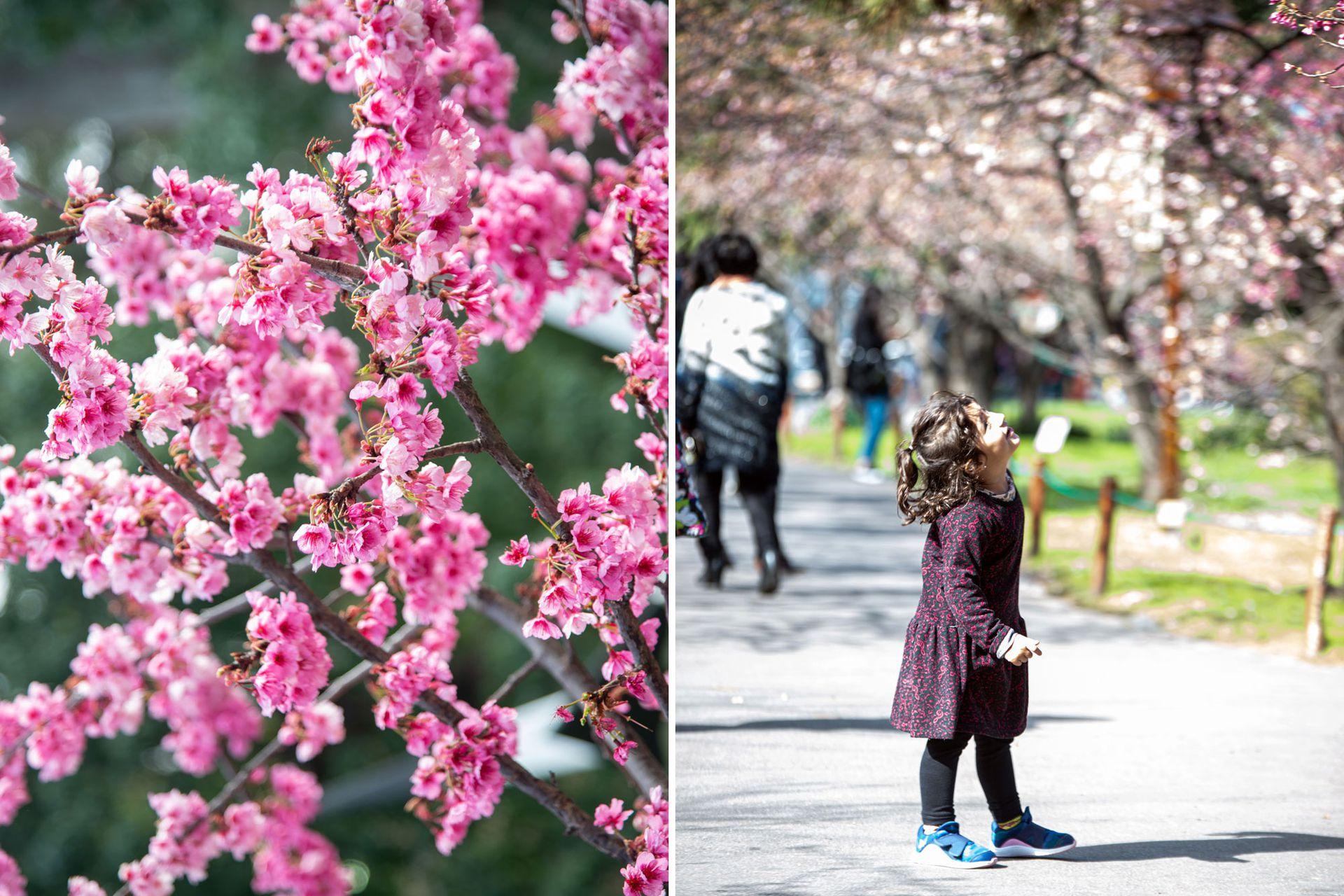 Las plantas de cerezos o sakura son para la cultura japonesa símbolo de la felicidad efímera y fugacidad de la vida, debido a que en el esplendor de su floración, las flores comienzan a caerse. En Buenos Aires, es un atractivo para los porteños pero también para los turistas que llegan a la ciudad y se dan un paseo por el parque.