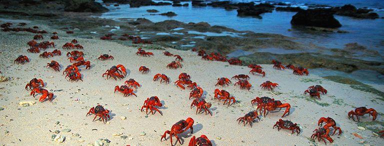 Marea roja: la isla que una vez al año es invadida por millones de cangrejos