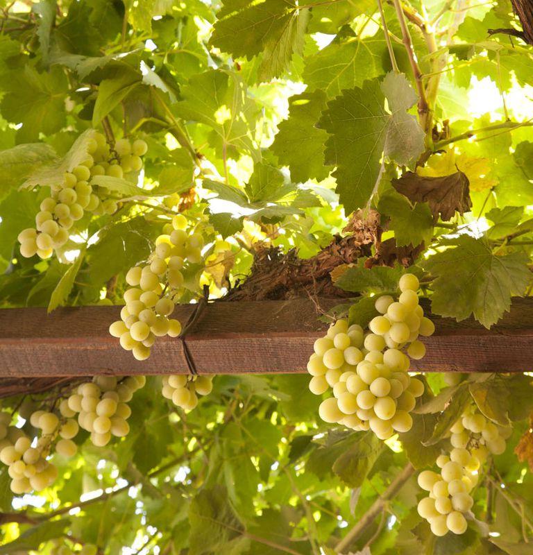 Una buena materia prima es esencial para obtener un vino de nivel