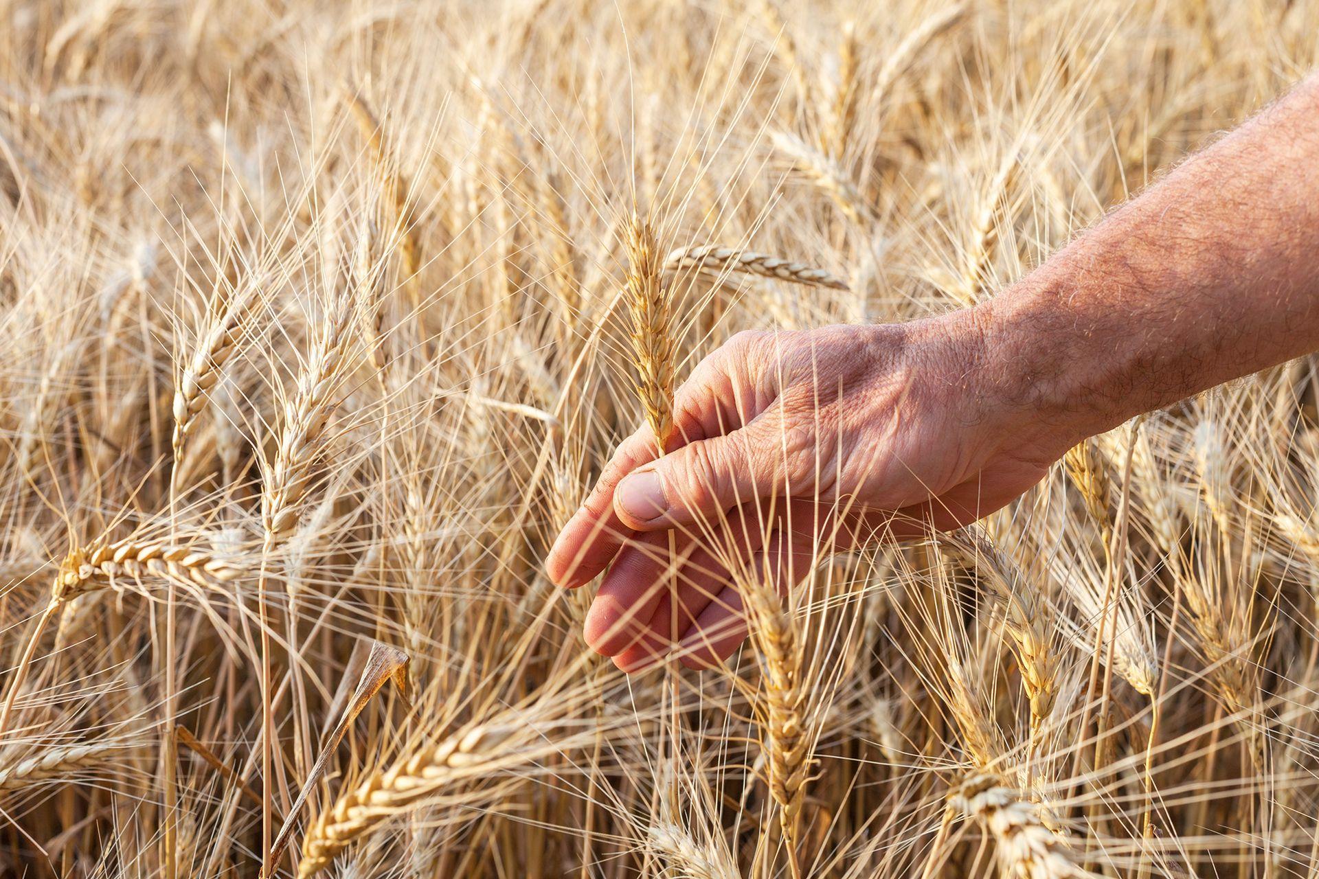 La Argentina exporta unas 12 millones de toneladas de trigo