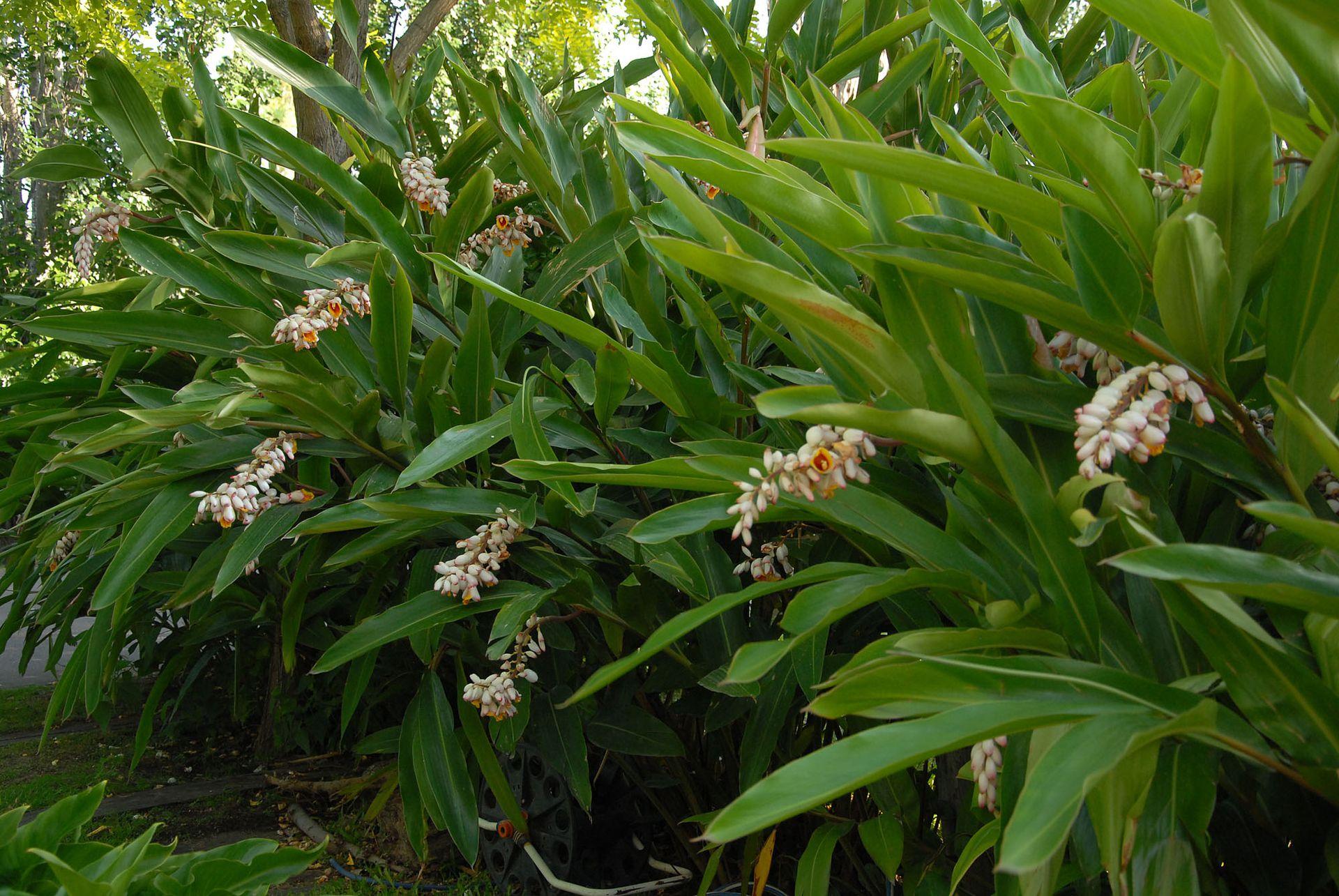 """Entre las herbáceas de origen japonés que no son tan comunes, la Alpinia zerumbet o """"confites"""", se caracteriza por sus cañas que superan los dos metros de altura."""