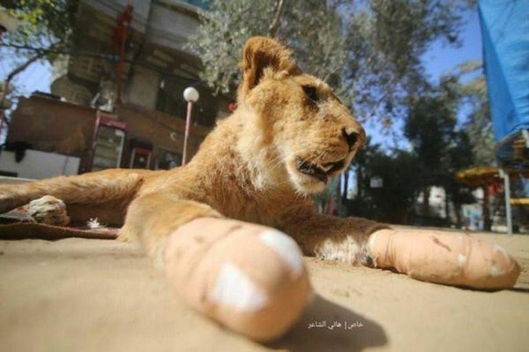 La leona fue mutilada para que los visitantes pudieran jugar con ella