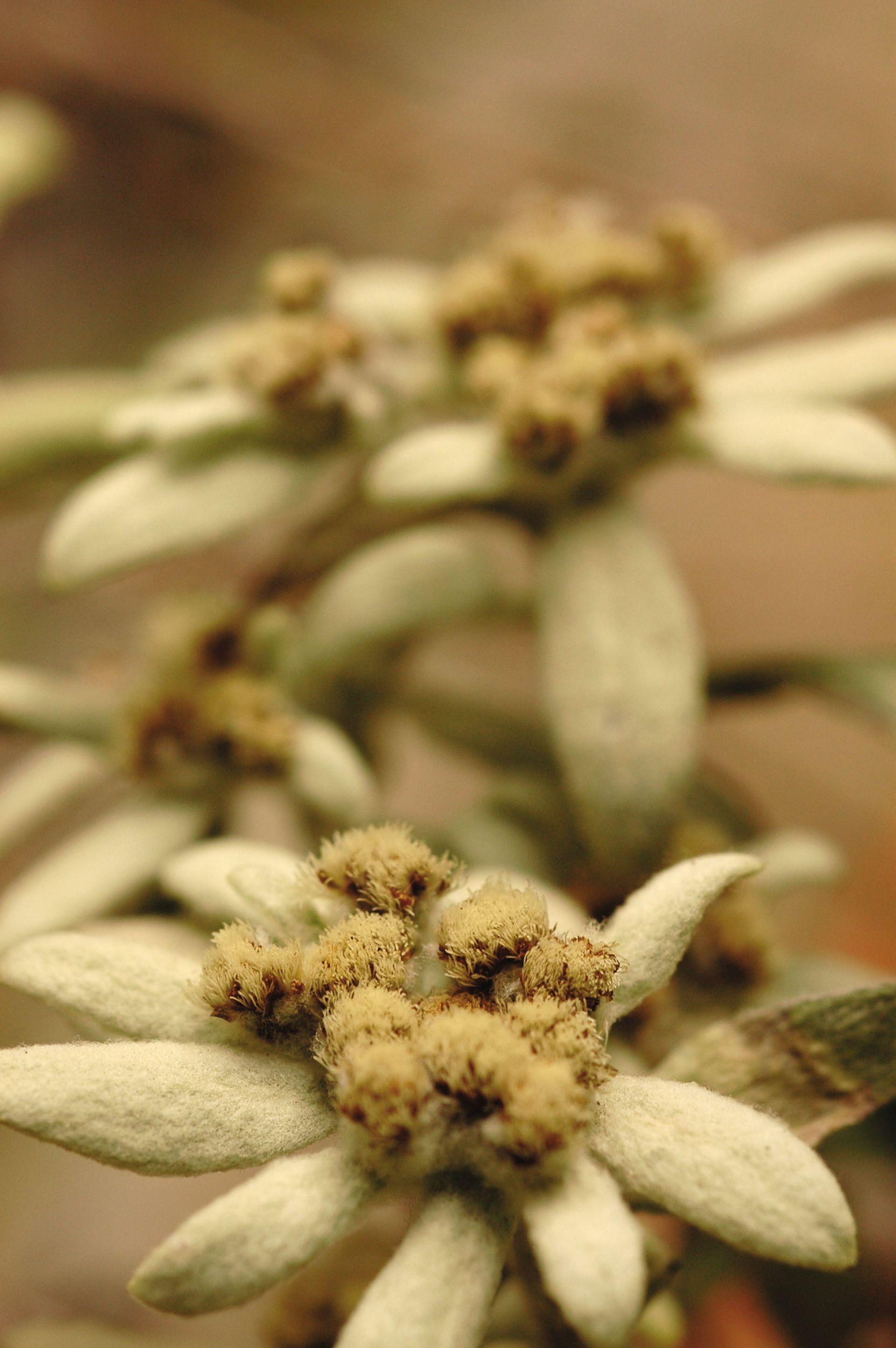 Edelweiss, (Leontopodium nivale) es la flor que representa a Suiza. De esta especie hay pequeños cultivos para obtener productos para rejuvenecer la piel.