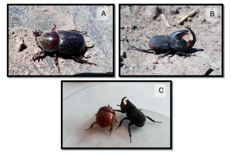 A: hembra B: macho C: hembra y macho en desarrollo