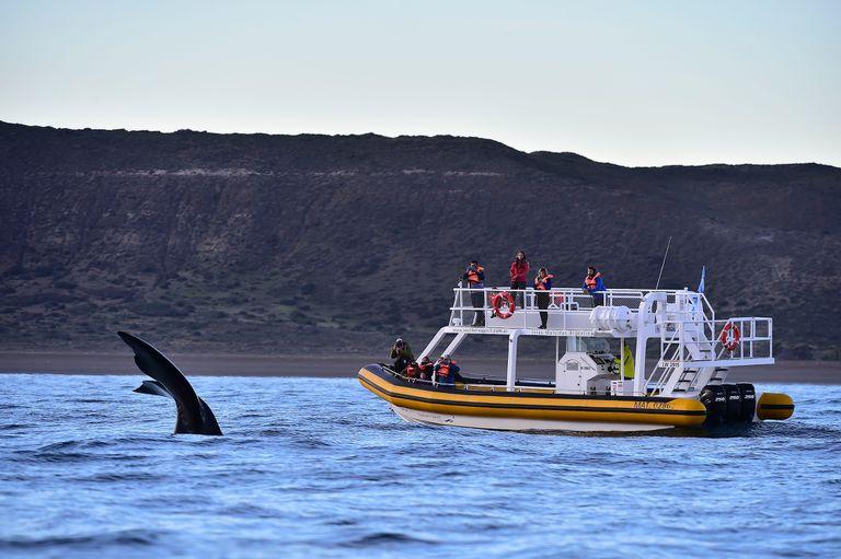 Con todos los protocolos, se realizan desde hoy los avistajes de ballenas en Puerto Pirámides, Chubut
