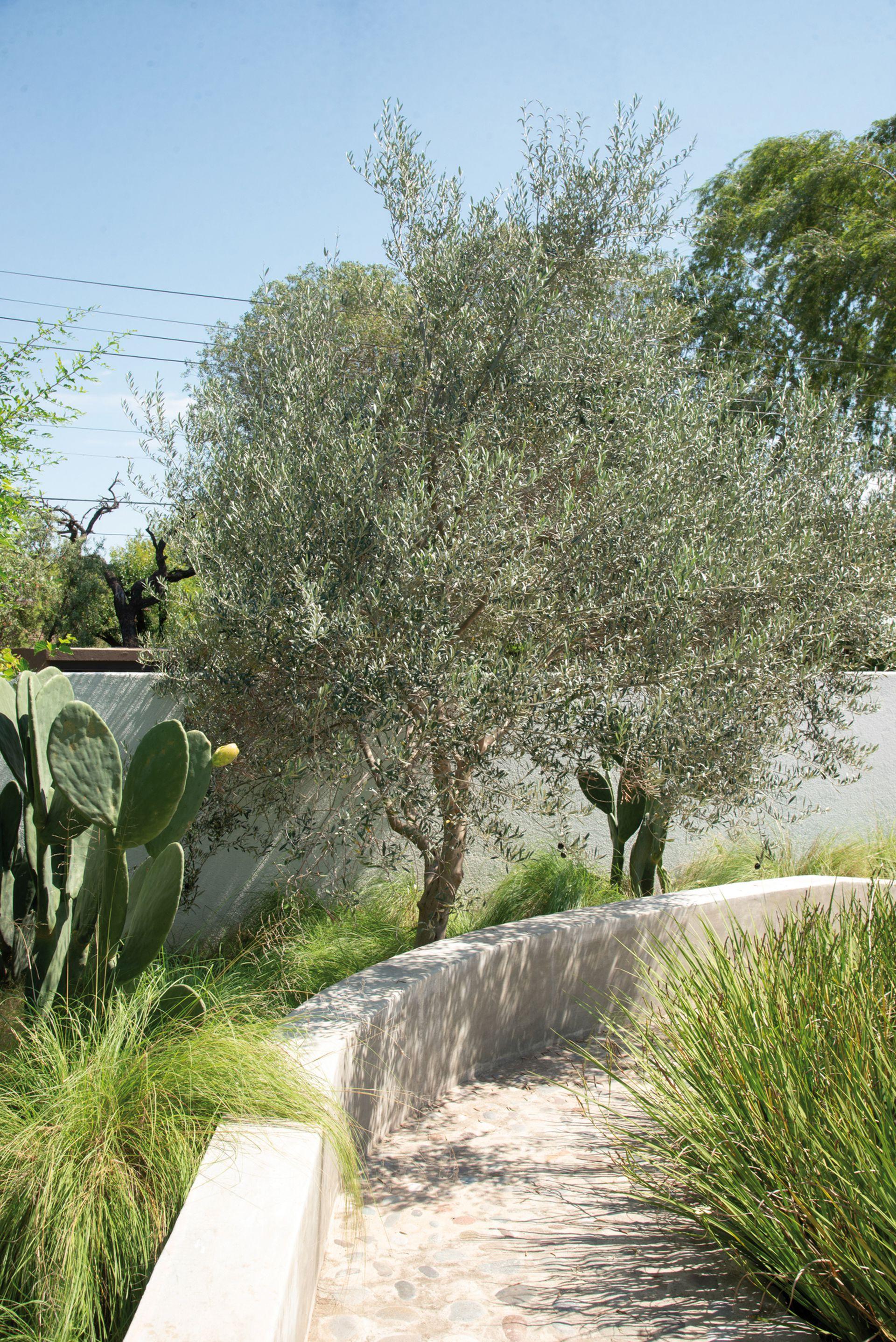 Una pared baja hace de banco y a su vez de límite, y contiene olivos que repiten la especie de entrada. Fuera de la casa, opuntias y gramíneas para reforzar el toque nativo.