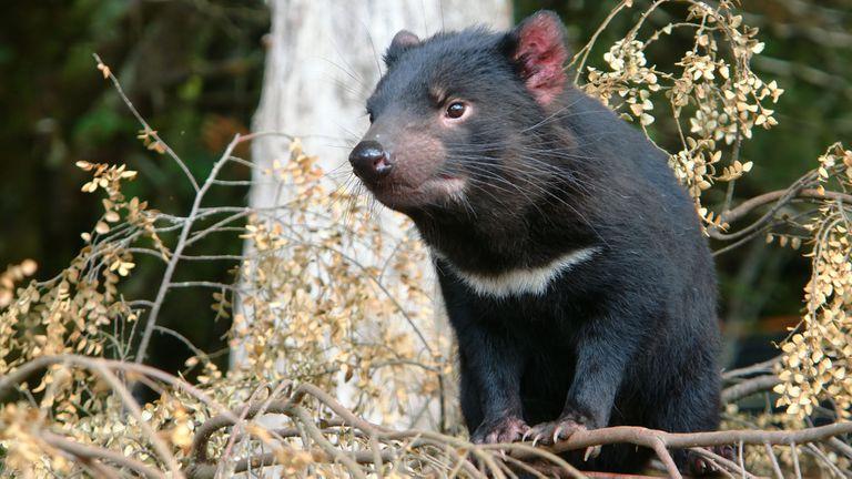 Tras 3000 años: nacieron siete demonios de Tasmania en Australia continental