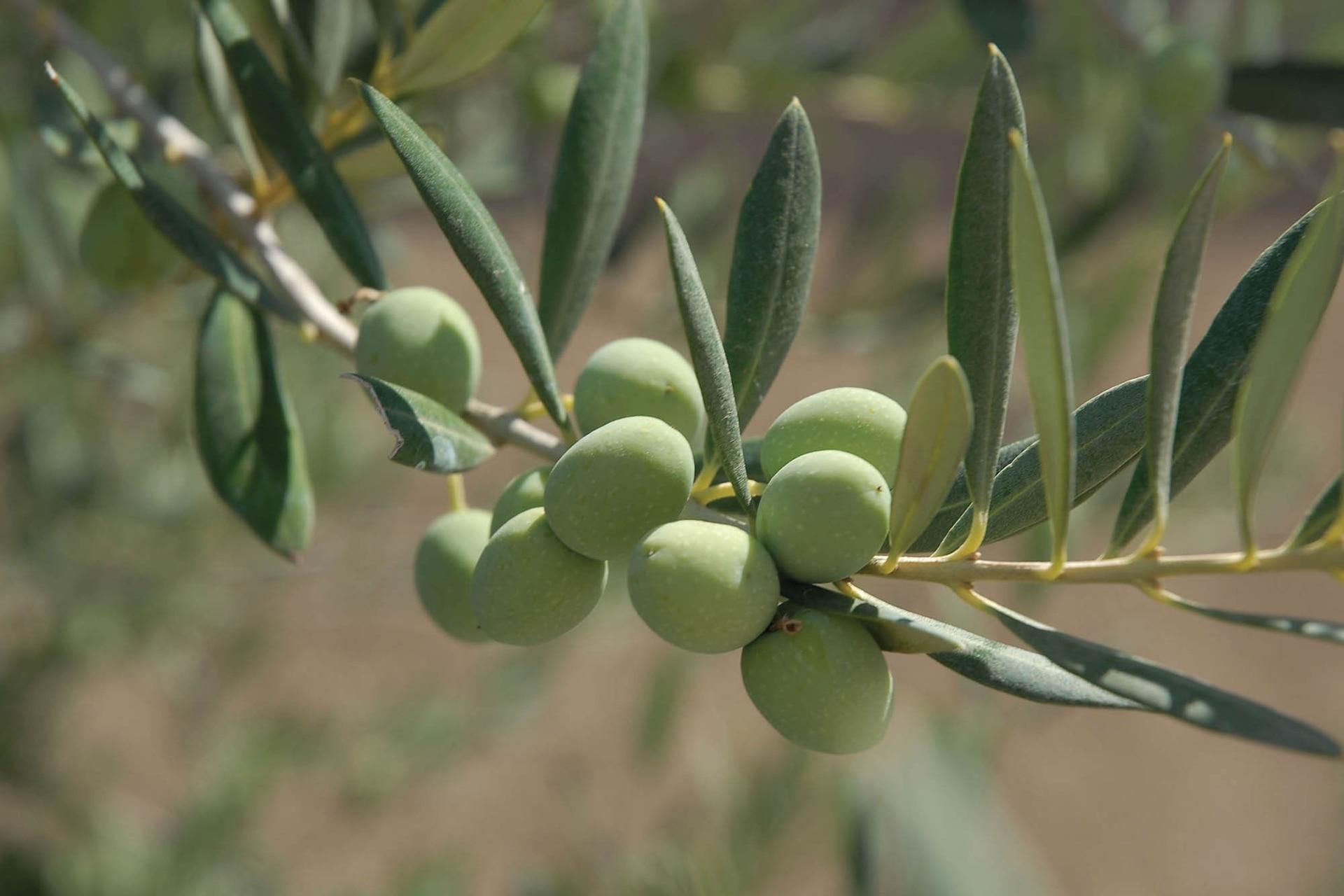 El mítico olivo (Olea europaea) en plena fructificación.
