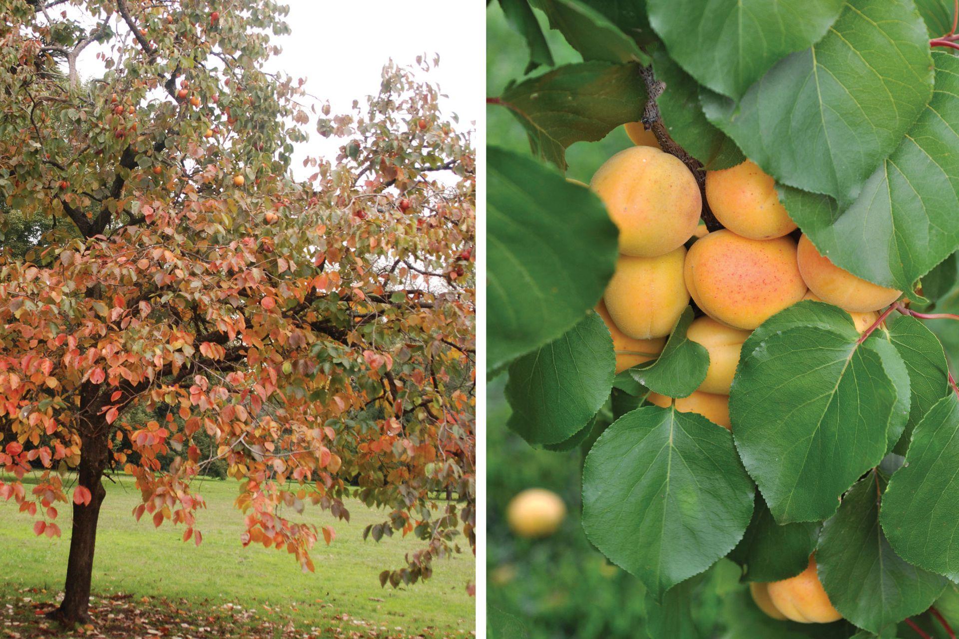 Un caqui en su mejor momento: cuando el follaje rojo del otoño se entrevera con los frutos que maduran color naranja (izquierda). Los frutos de los damascos maduran todos juntos. Cuando lo hacen hay que organizarse para hacer dulces o repartirlos entre amigos (derecha).