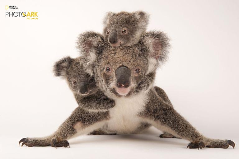 Un koala (Phascolarctos cinereus) con sus crías, en el zoológico hospital de vida salvaje australiano