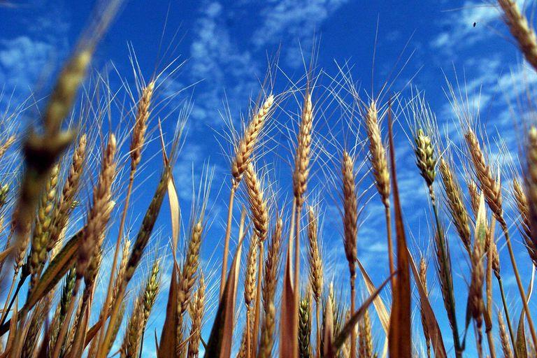 La necesidad de trigo, en medio de la pandemia de coronavirus, generó importantes mejoras en las últimas ruedas en las Bolsas de Chicago y de Kansas
