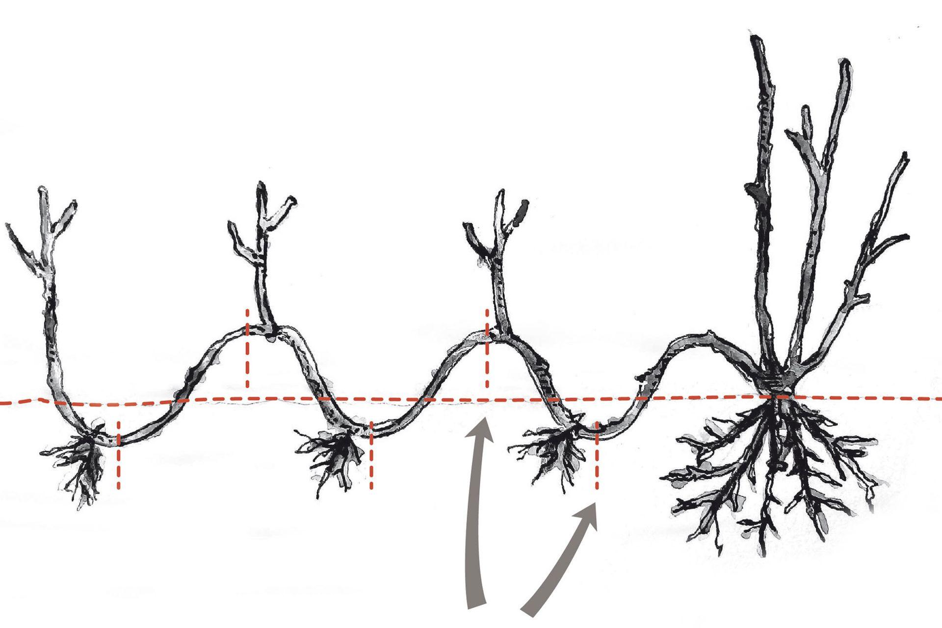 Una vez producido el enraizamiento, la rama se corta en secciones y cada sección es una nueva planta.
