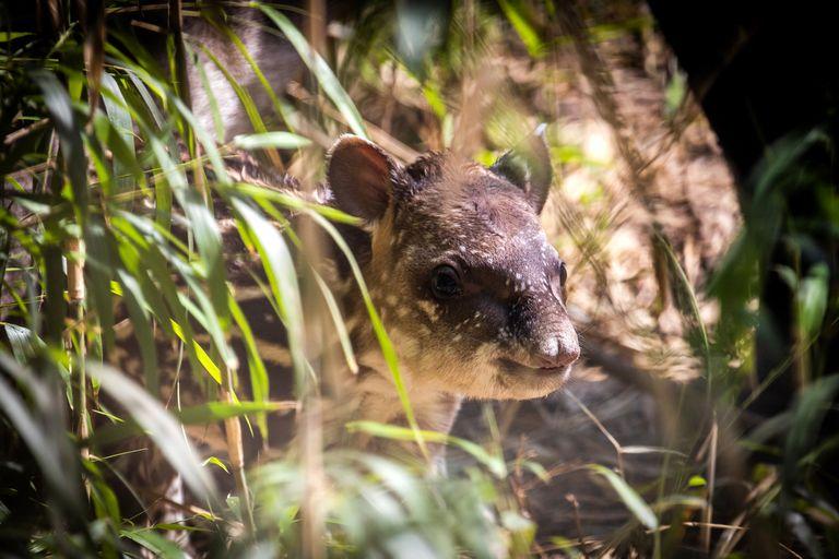 Ecoparque: nació un tapir, una especie considerada vulnerable a la extinción
