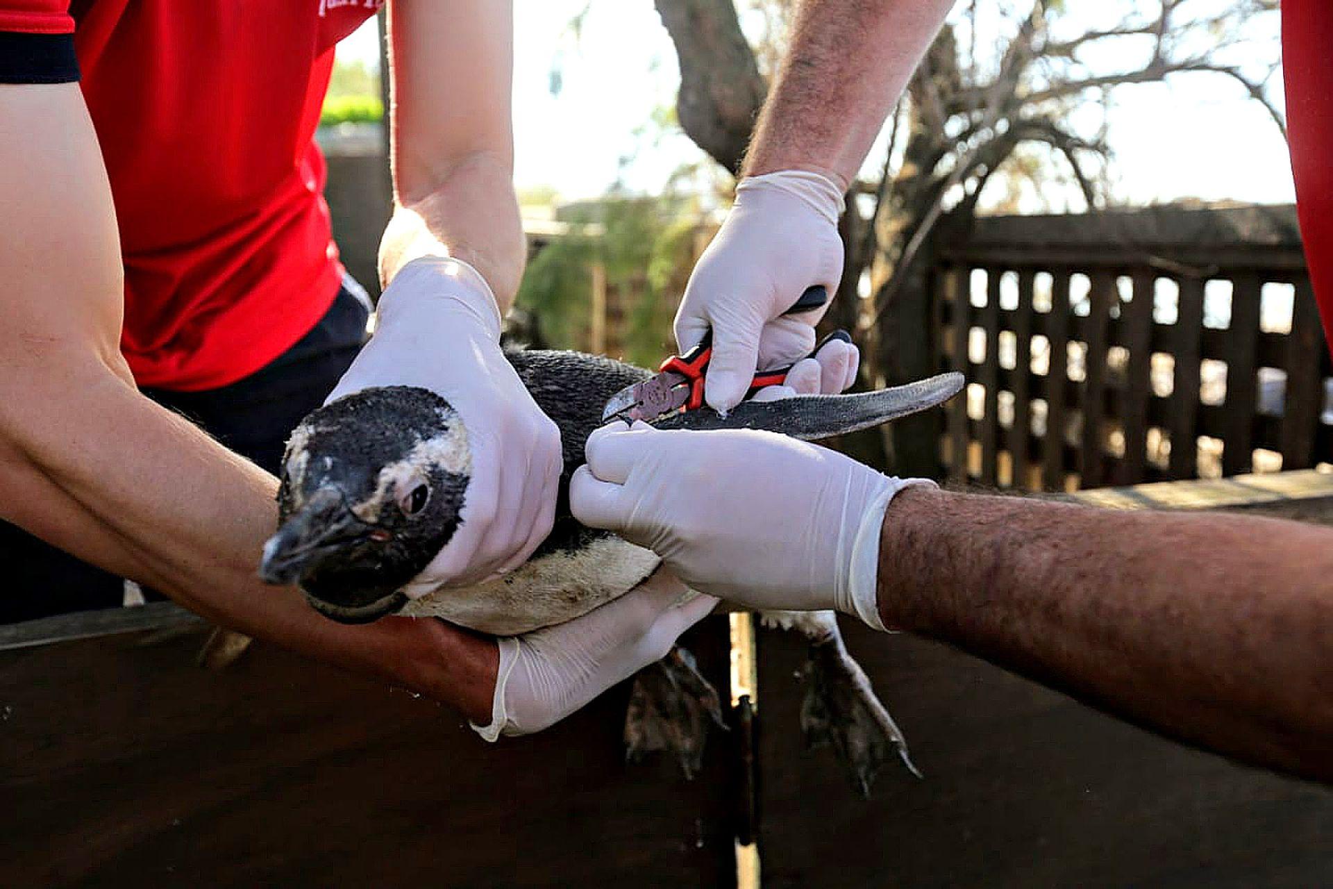 Esta especie de pingüino esta presente año tras año en nuestras costas durante sus migraciones y muchos de ellos suelen presentar problemas relacionados con la ingestión de basura, la desnutrición y el empetrolamiento