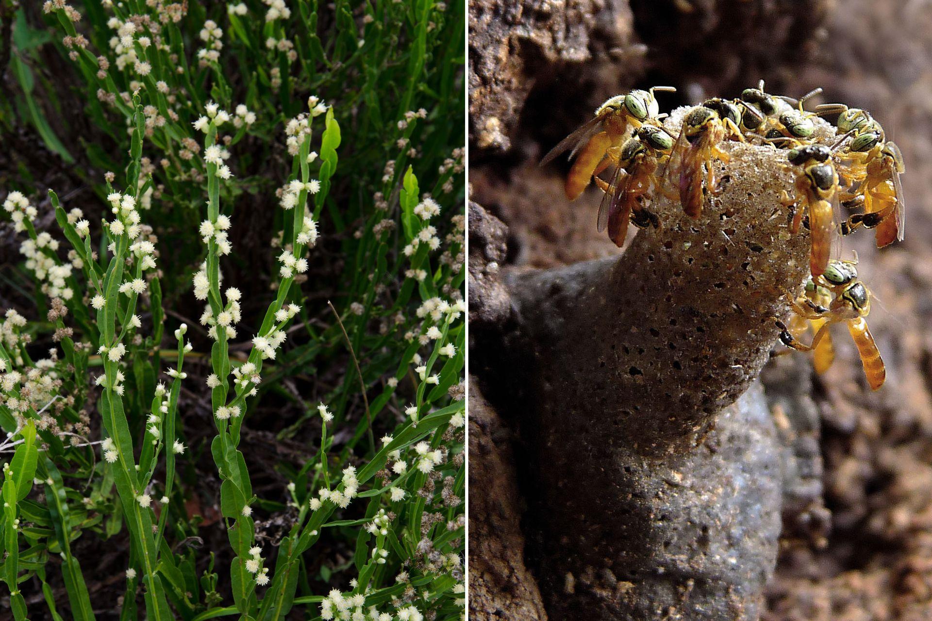 Izquierda: Planta de carqueja en floración. Derecha: Abejas yateí en su colmena.