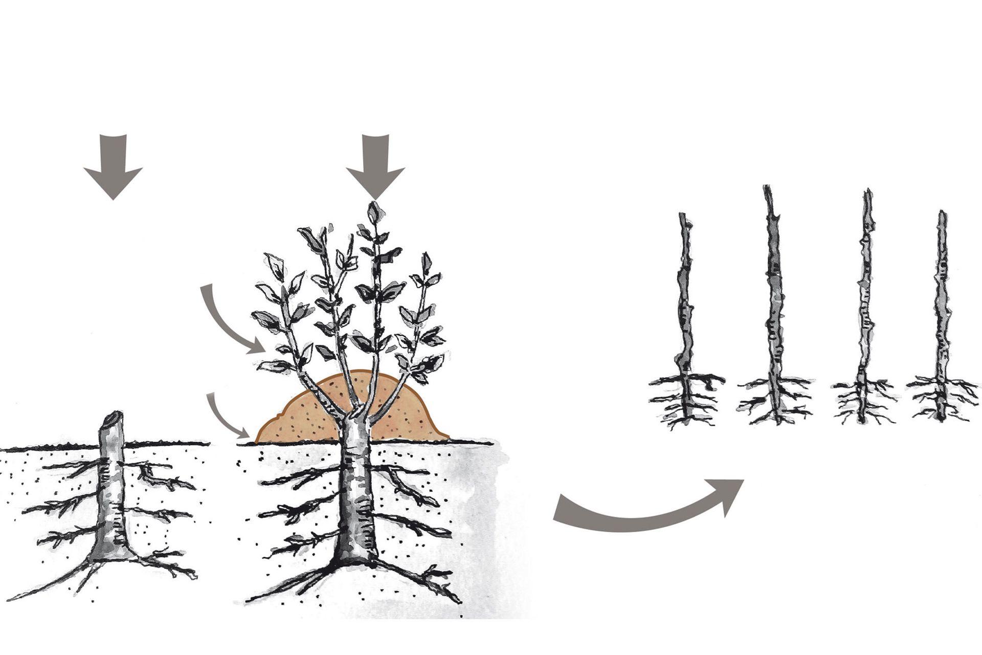En invierno (primera figura a la izquierda), se corta la planta madre a nivel del suelo. En primavera (figura del medio), aparecen los brotes y se aporca tierra hasta la mitad. Las plantas obtenidas (tercera figura) habrán formado raíces según las condiciones en que se realizó el acodo.