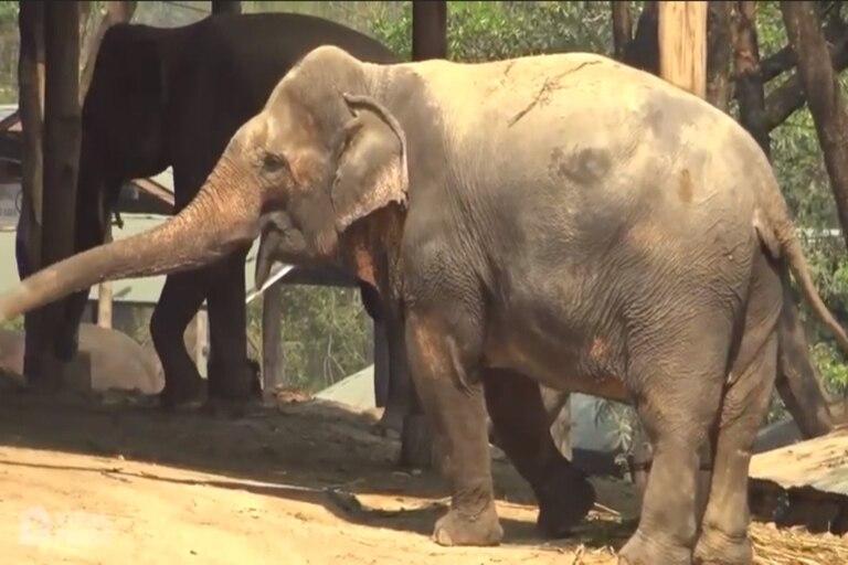 Las marcas de las sillas sobre el lomo de los elefantes liberados debido a la falta de turistas por el coronavirus.