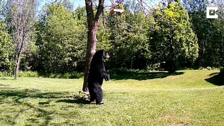 21-07-2021 Pillan a un oso caminando sobre dos patas en el jardín trasero de una casa.  MADRID, 21 jul. (EDIZIONES) Las imágenes de la cámara de seguridad de una vivienda capturaron a un oso caminando sobre sus patas traseras, fascinado por el comedero de pájaros que había colgado en el árbol.  SOCIEDAD YOUTUBE - CATERS