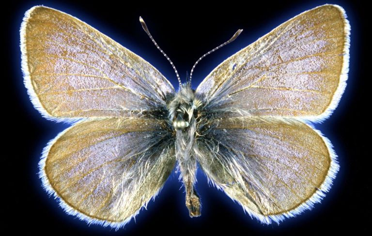 El espécimen de mariposa azul Xerces de 93 años utilizado en este estudio