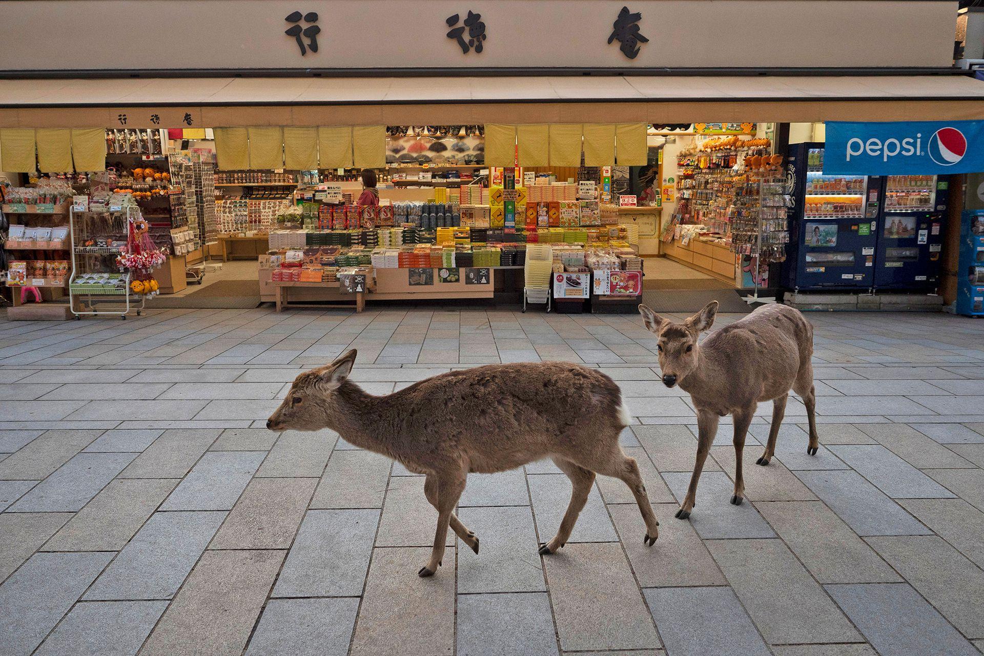Alrededor de 1000 ciervos deambulan por las zonas comerciales de la antigua capital de Japón