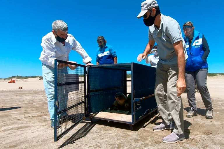 Video: tres lobos marinos rescatados vuelven al mar en San Clemente del Tuyú
