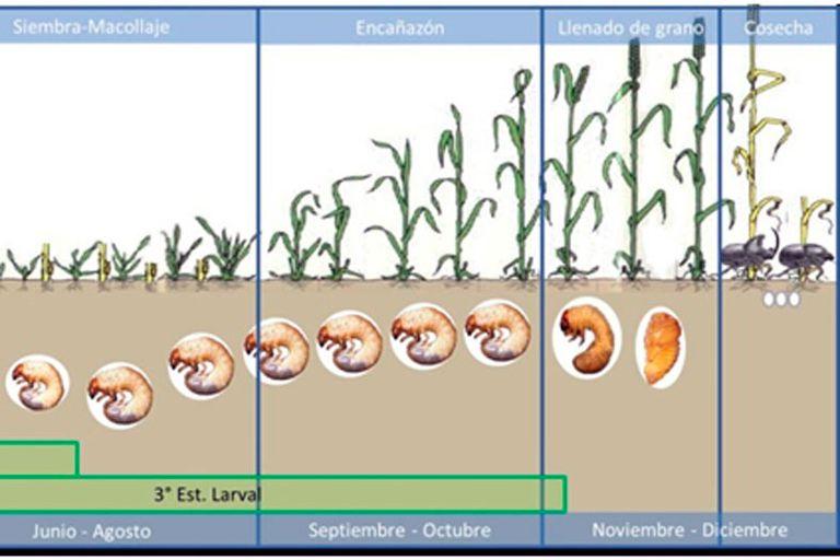 Las diferentes fases del escarabajo toro, de larva a pupa, previo a emerger a la superficie