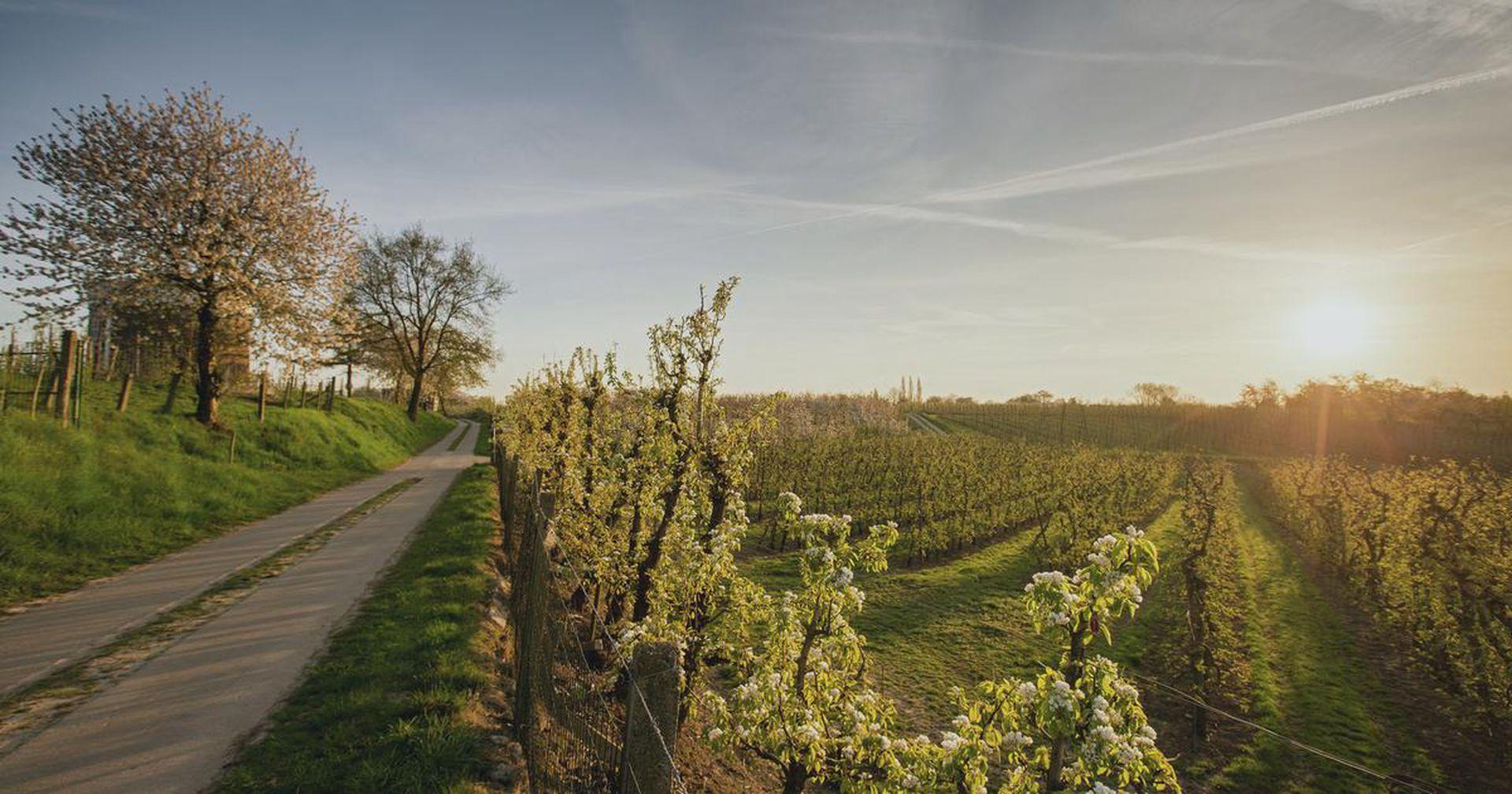 Limburgo, provincia de los Países Bajos, invita a recrear un pedaleo en bicicleta por 60 kilómetros entre campos florecidos