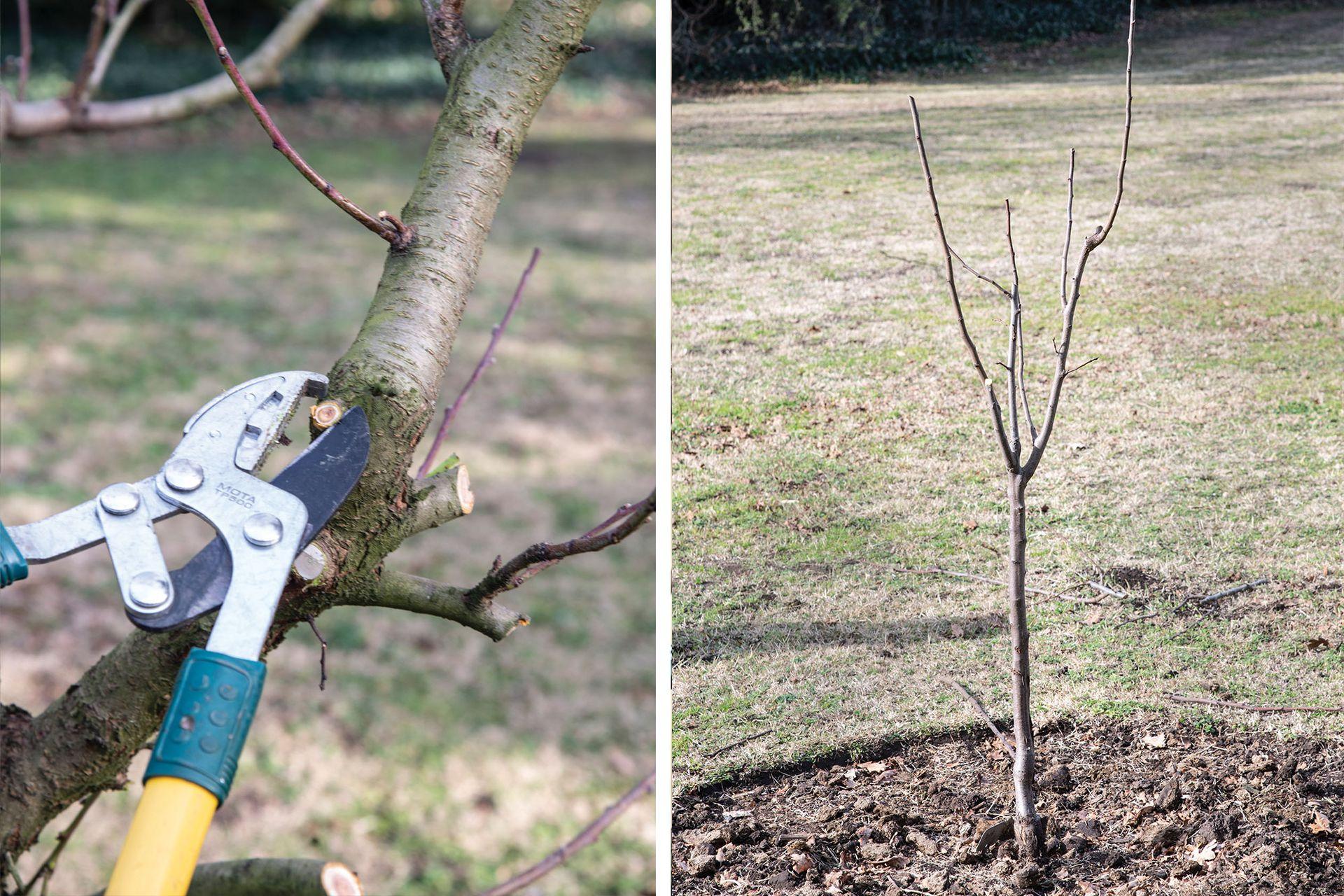 Izquierda: vamos eliminando las ramas que crecen para adentro y las ramas muertas, para permitir el paso de la luz y el aire. Derecha: Arbolito al año de ser plantado: se sigue la poda de formación seleccionando las ramas primarias que irán armando la copa.