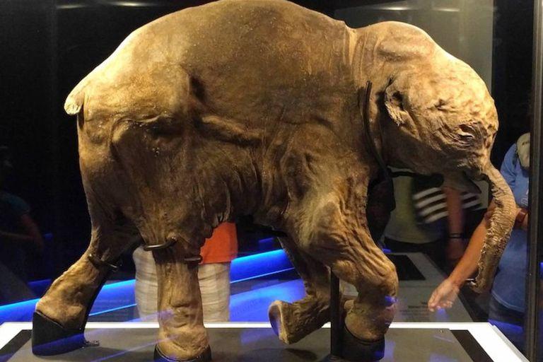 """Lyuba: la triste historia del mamut bebé """"casi intacto"""" descubierto en Siberia"""