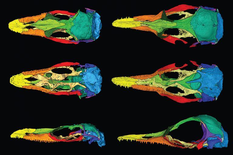 Los investigadores aislaron de forma digital cada uno de los huesos de ambos fósiles. Aquí se muestra en un arco iris de colores las similitudes entre los dos lagartos. Oculudentavis naga, a la izquierda, y O. khaungraae, a la derecha
