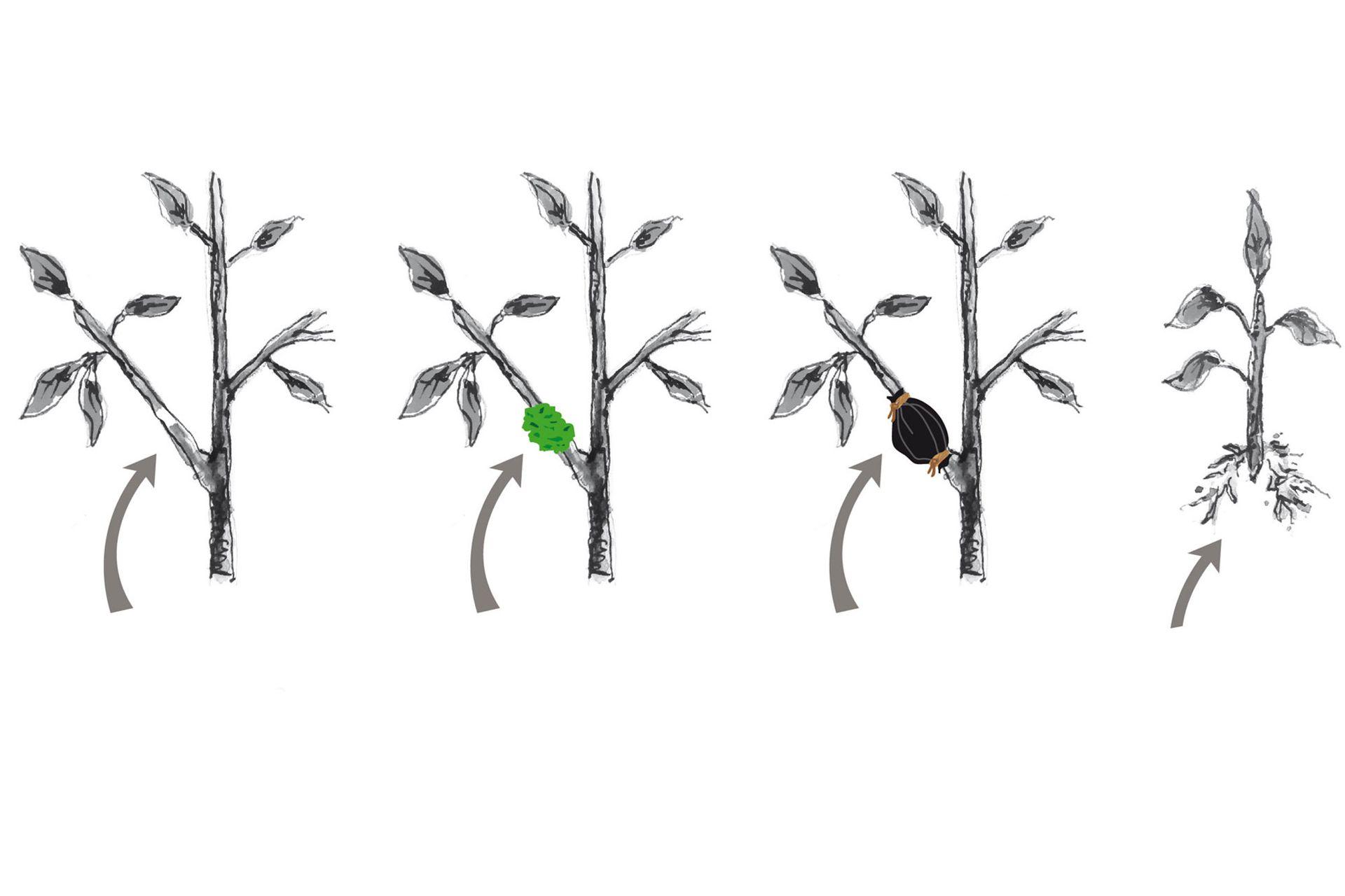 Los pasos a seguir: 1) Realizar la extracción de un anillo de corteza. 2) Cubrir con musgo sphagnum o turba humedecida. 3) Envolver con polietileno transparente y luego con uno negro. 4) Cuando enraíza, separar de la planta donante.