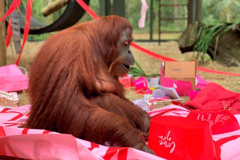 La orangutana Sandra, plácidamente sentada