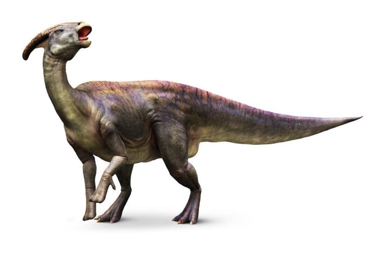 Los detalles del espécimen muestran que la cresta se forma de manera muy similar a las crestas de otros dinosaurios con pico de pato relacionados