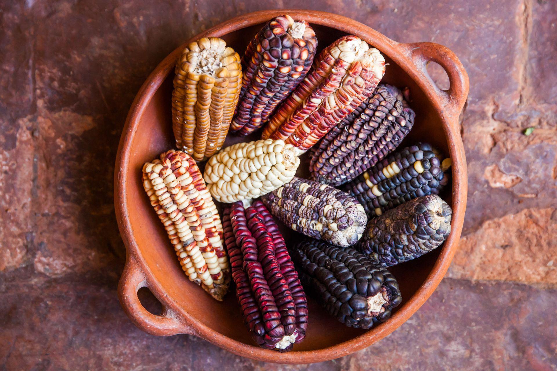 Distintos tipos de maíz.