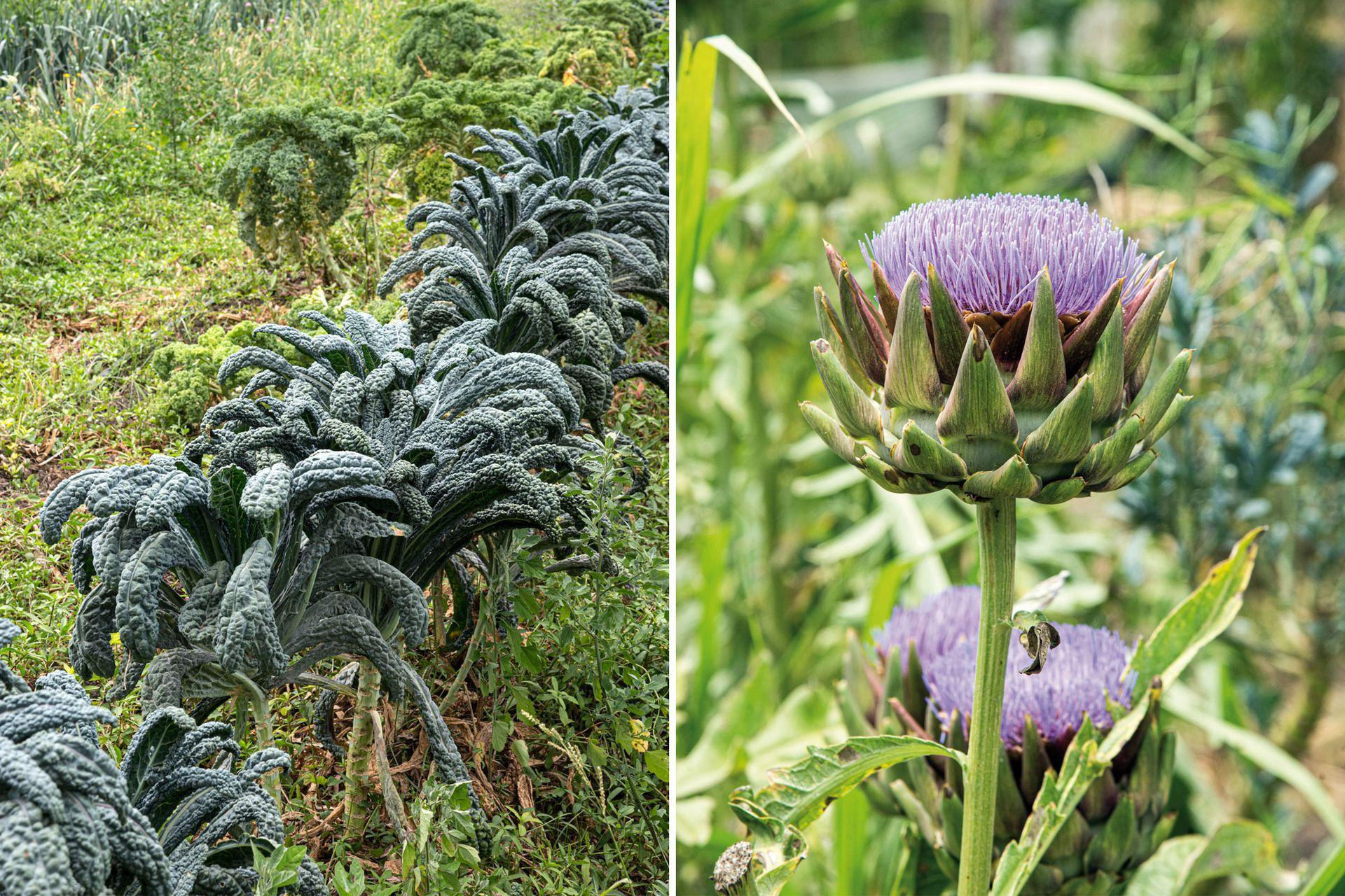 Izquierda: Kales a pleno en la huerta del predio. A la derecha, flor del alcaucil, de la variedad violeta de Provenza, procedente de Alicante y Murcia; muy apetecida en el mercado francés.