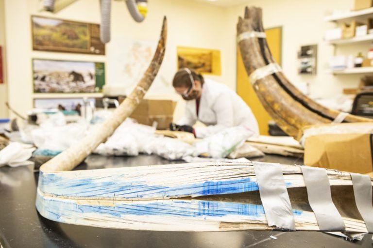 El colmillo se partió longitudinalmente para tomar muestras de las bandas de crecimiento que ofrecen un registro cronológico de toda la vida del mamut