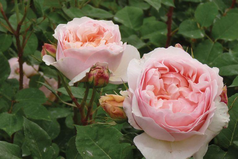 Aprendé cómo podar un rosal y hacer una planta de gajo