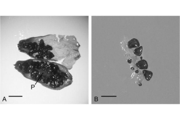 La semilla de Silene stenophylla procedente de una madriguera enterrada en el permafrost