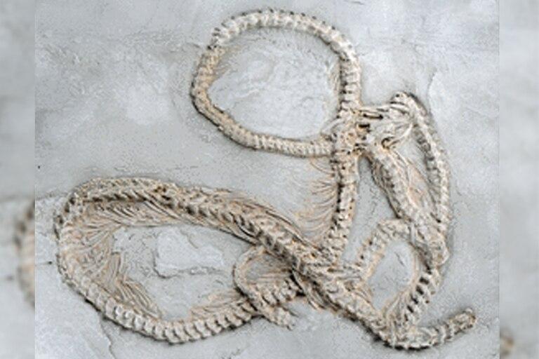 Los restos de la pitón más antigua del mundo pertenecen a un ejemplar que tenía una longitud de poco más de un metro