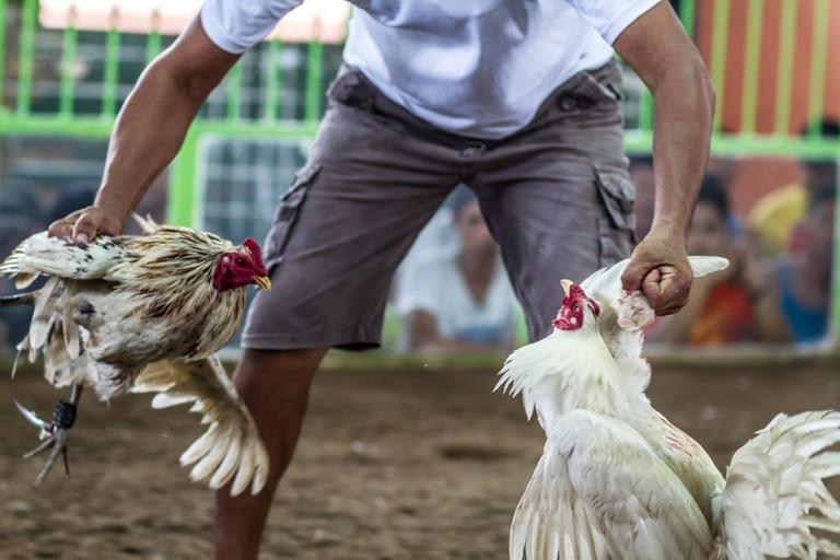 Las peleas de gallos están prohibidas en India, pero las autoridades no han logrado ponerle fin a los encuentros ilegales (imagen ilustrativa)