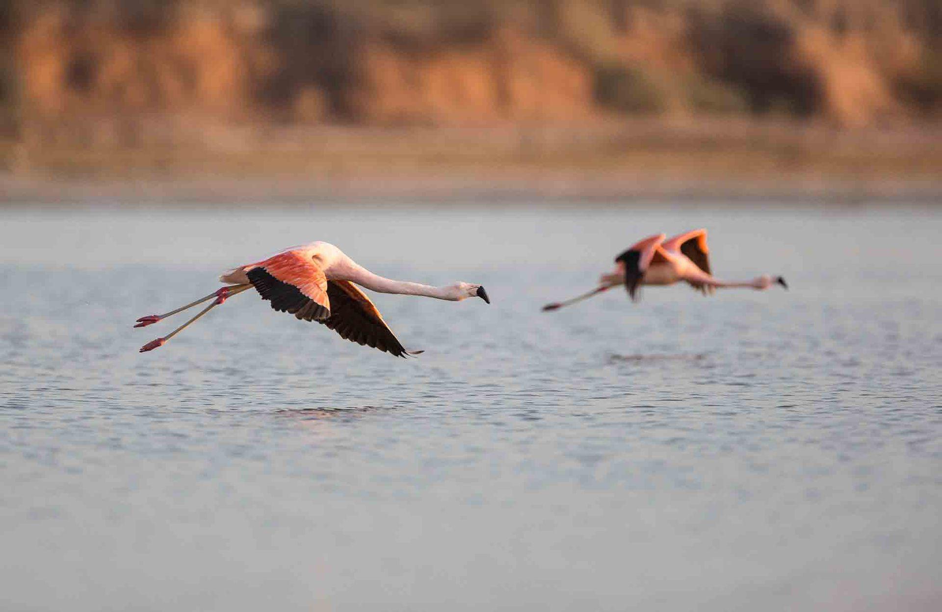 Flamencos en vuelo sobre la laguna.